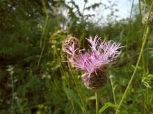Purple Wild Flower Among Green Grass