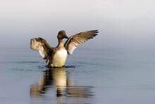 Goldeneye On The Water