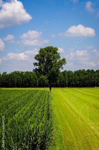 Una linea divide un campo di mais da uno arato nella pianura padana Fototapet