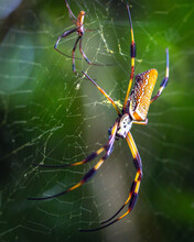 Golden Silk Spiders Facing Eac...