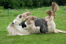 Gypsy Cobb Mare Rolling In Grass Pasture
