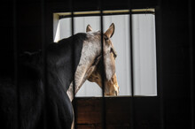 Horse Leaning Out Barn Stall W...