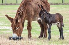 Poitou Donkey Jenny With Foal