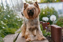 Yorkshire Terrier. Cute Tiny D...