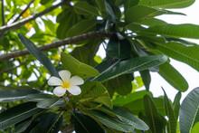 Beautiful White Plumeria (Fran...