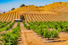 Young Orange Trees Grow In A Row In  San Joaquin Valley And Younger Ones Grow On Hillside.