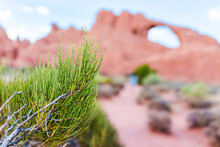 Skyline Arch Erosion At Arches National Park In Background On Trail Hike In Utah In Summer With Foreground Of Green Mormon Tea Plants