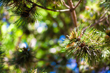 Macro Closeup Of Pine Cones Pollen And Needles On Tree Branch With Blue Sky And Forest In Blurry Blurred Background