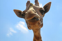 Giraffe At The Zoo On A Blue Sky Background. Giraffe Has Funny Facial Expressions. The Giraffe Stuck Out The Tip Of Its Tongue.