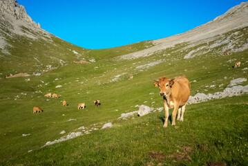 Las vacas pastan en los grandes pastos de los Picos de Europa.