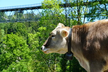Head Of A Cow, Swiss Brow Breed In Lateral View With A Typical Cow Bell On The Neck. Photo Taken On The Pasture Surrounding The St. Gallen Bridge Trail In Switzerland, With One Of Brides On Background