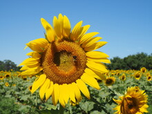 Closeup Of Sunflower With Bee Under Sunny Sky