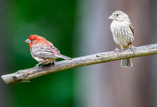 A Male House Finch : Haemorhou...