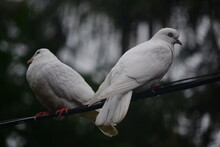 White Dove On The Branch