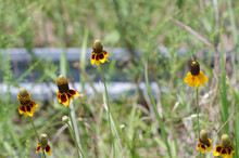 Mexican Hat Wild Flowers