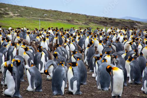 Papel de parede king penguin colony in Falkland islands