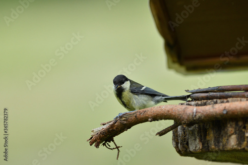 Photographie Great Tit with sunflower in beak sitting on a branch in the garden