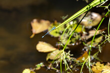 The Azure Damselfly, Coenagrion Puella, Is A Beautiful Blue Dragonfly Sitting On The Grass Above The Water