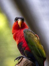 The Black-capped Lory, Lorius Lory Erythrothorax, Is A Fairly Large Beautifully Colored Parrot