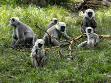 The Large Family Of Semnopithecus Entellus, Northern Plains Gray Langur, Nibbles The Bark From A Fallen Branch