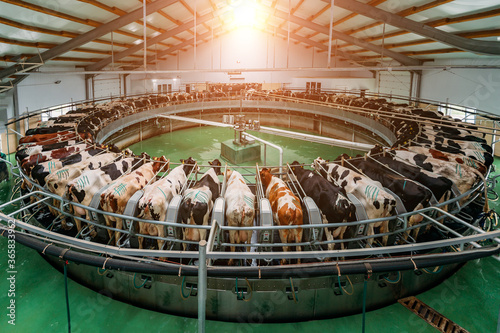 Tableau sur Toile Milking cows by automatic industrial milking rotary system in modern diary farm