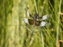 Widow Skimmer Dragonfly Macro