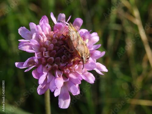 Fototapeta The sloe bug (Dolycoris baccarum) on pink flower.