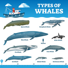 Types Of Whales Educational La...