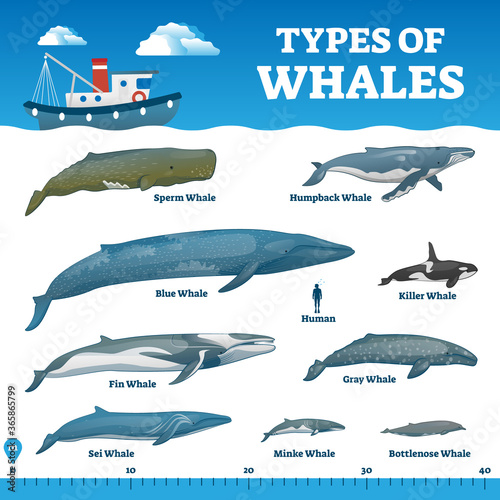 Fotografia, Obraz Types of whales educational labeled wildlife comparison vector illustration