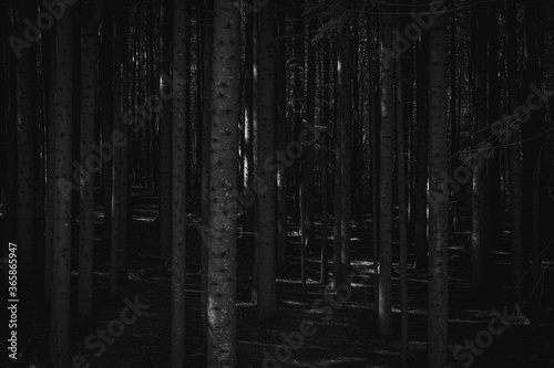 Panorama of a black forest full of trees - 365865947