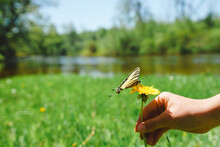 Swallowtail Butterfly On Dande...