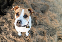 Portrait Of Jack Russell Terrier Dog On Beach