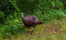 Female Wild Turkey Walking Wit...