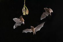 Three Nectar Eating Bats Flying Around Flower Head At Night.
