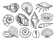 Seashells Vector Set In Sketch Style. Sea Shell Isolated Sketch Drawing, Marine Engraving Illustration On White Background.