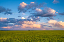 Canola Fields At Sunset As Summer Storms Roll Past.