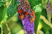 Two Butterflies, Peacock (Agla...