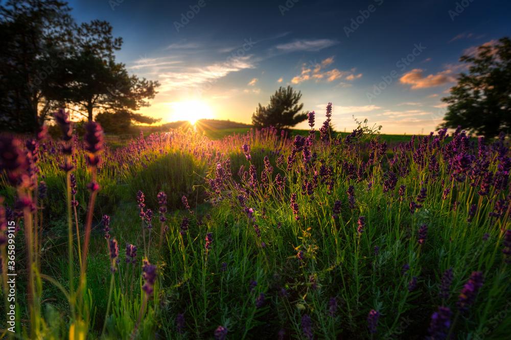 Fototapeta Lavender field at sunset in Poland