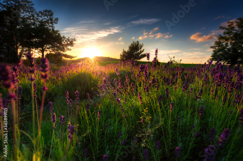 Fototapeta Lavender field at sunset in Poland obraz