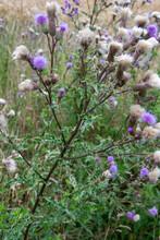Die Blüten Der Acker-Kratzdistel, Cirsium Arvense, Gesehen Am Rand Eines Getreidefeldes.