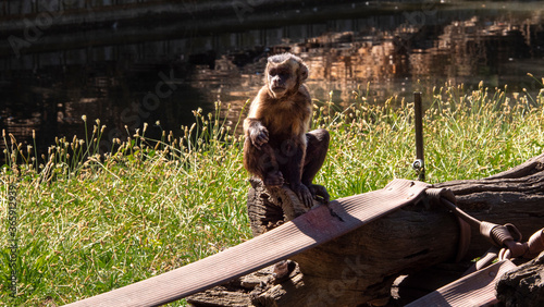 Canvas Print different images of a baduine monkey in captivity