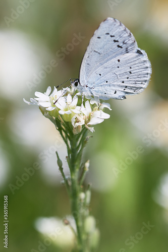 Fototapety, obrazy: Provencal short-tailed blue (Cupido alcetas) on white flower. Butterfly macro