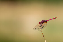 Red Dragonfly Perched In A Ree...