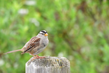 White-crowned Sparrow On A Fence