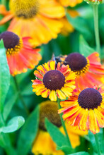 Common Sneezeweed Flowers At Garden In Oxford, United Kingdom