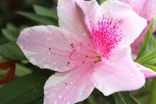 Pink Azaleas With The Dewdrop ...