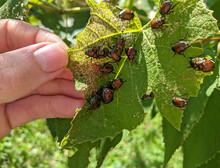 A Large Group Of Japanese Beetles (popillia Japonica) Eat A Grape Leaf.
