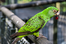 The Red-fronted Parrot (Poicep...