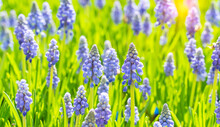 Blue Hyacinth Grape Flowers As A Good Spring Background.