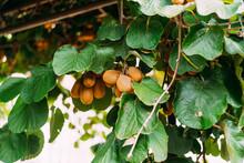 Large Ripe Brown Kiwi Fruit Ha...